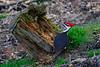 PileatedWoodpecker-Male-2016-sjs-004