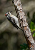 DownyWoodpecker(male)-OcalaNF-5-7-20-SJS-04
