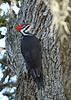 PiliatedWoodpecker(female)-OcalaNationalForest-12-5-18-SJS-001