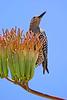 GilaWoodpecker-AZ-2015-004