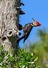 PileatedWoodpecker-MeadGardens-4-16-19-SJS-027