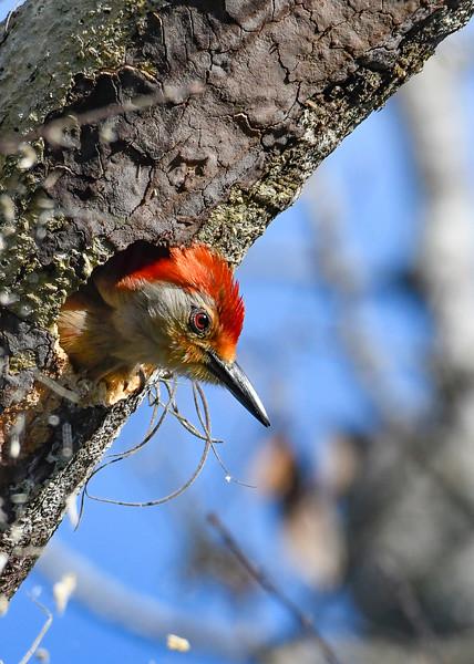 Red-BelliedWoodpecker-EmeraldaMarsh-4-28-19-SJS-002