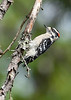 DownyWoodpecker(male)-OcallaNF-9-16-20-sjs-001