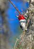 RedHeadedWoodpecker-NewberryFl-1-24-17-SJS-29