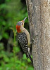 Red-BelliedWoodpecker-Female-IHSA-6-13-17-SJS-001