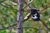 PileatedWoodpecker-SawgrassIsland-6-30-19-SJS-007