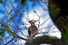 PileatedWoodpeckerTampaFL-2015-sjs-002