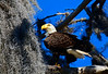 AmericanBaldEagleOcalaNationalForestFL-2016-SJS-04