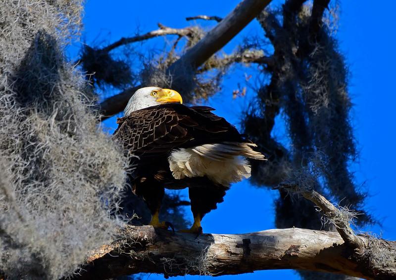 AmericanBaldEagleOcalaNationalForestFL-2016-SJS-01