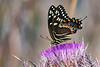 PalamedesSwallowtail-OcalaNF-3-18-20-SJS-005