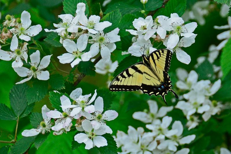 YellowSwallowtail-5-2016-sjs-006