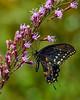 SpicebushSwallowtail-OcalaNF-9-4-20-sjs-001