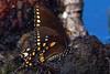 SpicebushSwallowtail-NewtonPark-8-25-19-SJS-008