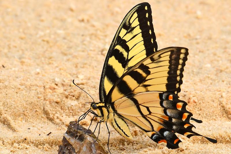 EasternTigerSwallowtail-OcalaNF-FL-7-31-18-SJS-002