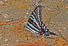 ZebraSwallowtail-OcalaNF-9-9-18-SJS-002