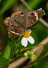 CommonBuckeye-EmeraldaMarsh-3-17-20-SJS-001