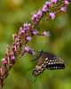 SpicebushSwallowtail-OcalaNF-9-4-20-sjs-004