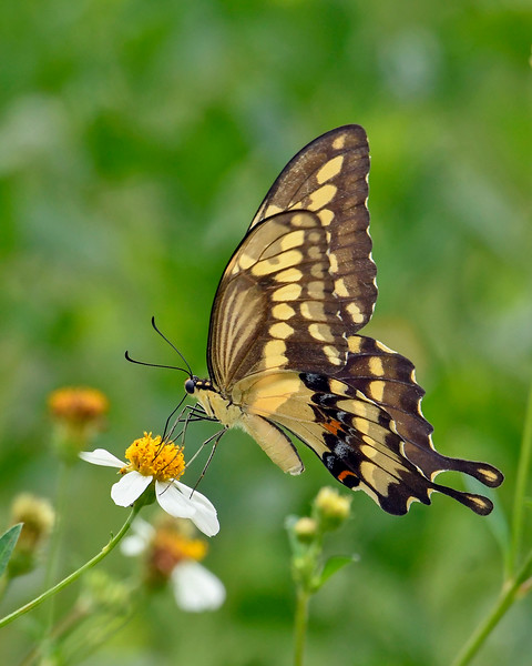 GiantSwallowtail-FloridaCavernsSP-8-21-20-sjs-005