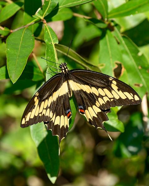 GiantSwallowtail-EmeraldaMarsh-5-29-20-SJS-02