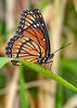 Monarch-EmeraldaMarsh-4-10-20-SJS-001