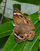 CommonBuckeye-EmeraldaMarsh-4-17-20 -SJS-001
