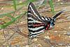 ZebraSwallowtail-OcalaNF-9-9-18-SJS-001