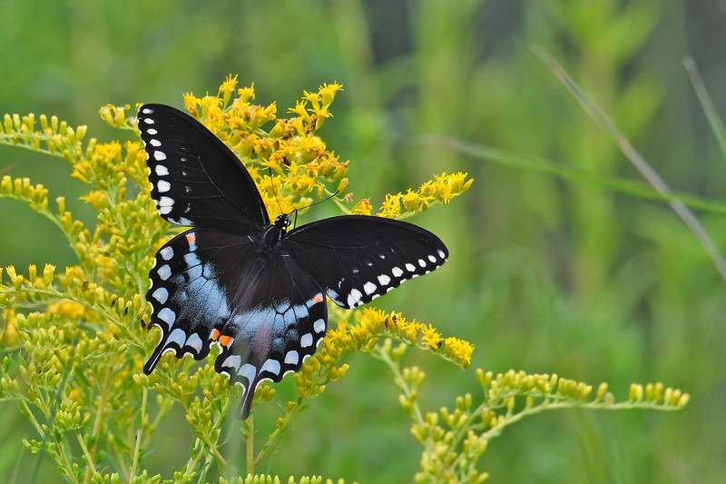 SpicebushSwallowtail-OcalaNF-9-4-18-SJS-002