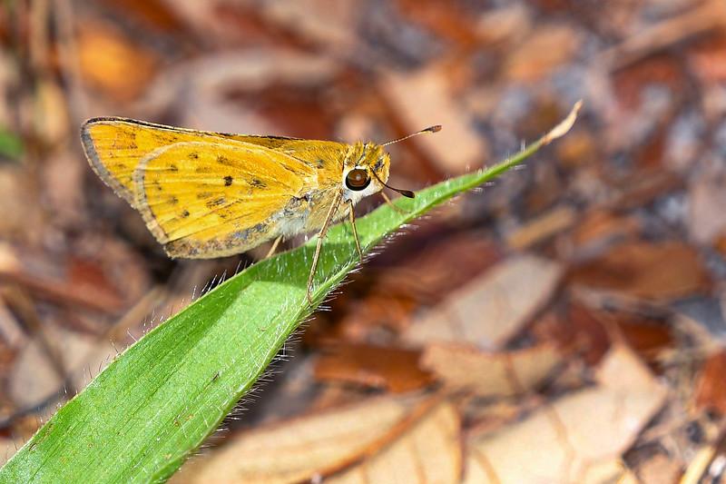FierySkipper(male)-LakeYale-5-19-20-sjs-001