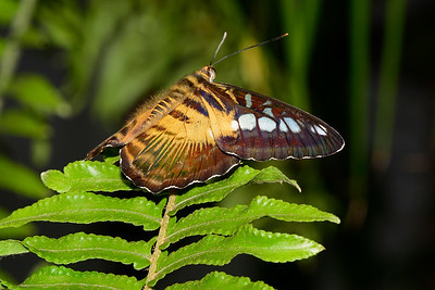 Clipper-UF-ButterflyRainforest-2016-SJS-001