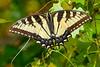 EasternTigerSwallowtail-SawgrassIsland-3-23-20-SJS-001