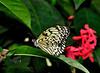 KeyWestButterfly&NatureConservatory -sjs-2015-039