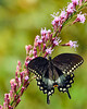 SpicebushSwallowtail-OcalaNF-9-4-20-sjs-006