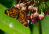 Checkerspot-Milkweed-sjs-2015-004