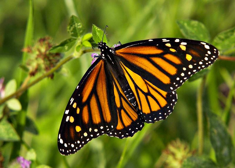Monarch-02