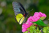 Birdwing-UF-ButterflyRainforest-2016-SJS-001