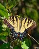 EasternTigerSwallowtail-SawgrassIsland-5-12-20-SJS-02