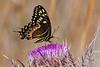 PalamedesSwallowtail-OcalaNF-3-18-20-SJS-001