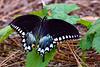 SpicebushSwallowtail-PineMeadowsCA-6-30-19-SJS-001
