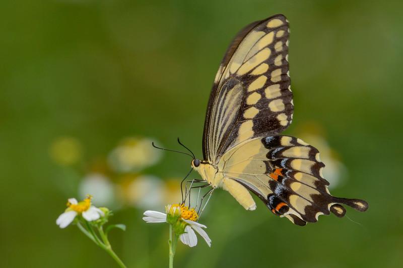 GiantSwallowtail-FloridaCavernsSP-8-21-20-sjs-002