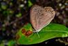 AppalachianBrown-SatyrodesAppalachia-FlatIslandReserveFL-7-8-19-SJS-001
