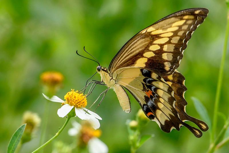 GiantSwallowtail-FloridaCavernsSP-8-21-20-sjs-004