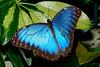 BlueMorpho-3-11-20-FlMuseumOfNaturalHistory-SJS-003