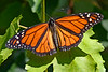Monarch-MeadGardens-4-22-20-SJS-003