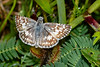 CommonCheckeredSkipper-MarlBedFlatsTract-LakeJesupConservationArea-SJS-006