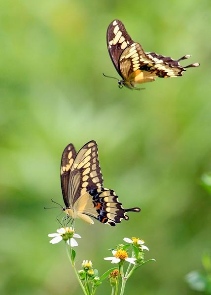 GiantSwallowtail-FloridaCavernsSP-8-21-20-sjs-007