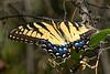 EasternTigerSwallowtail-SawgrassIsland-5-12-20-SJS-01