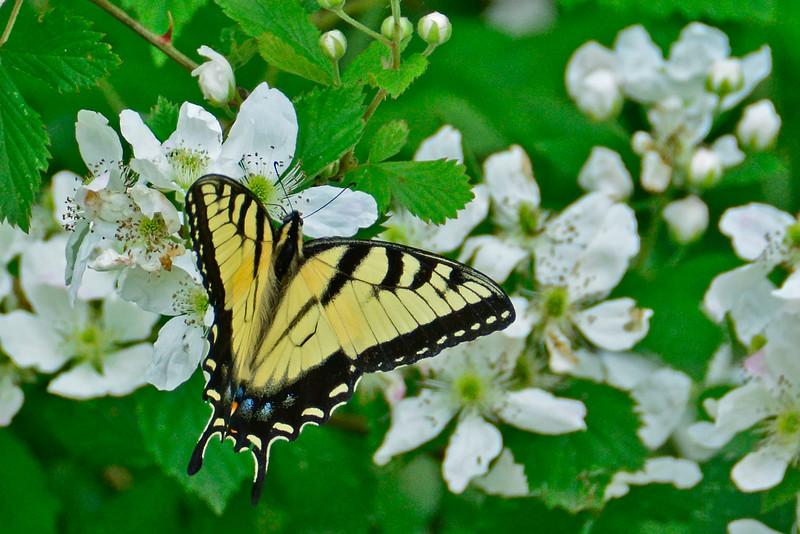 YellowSwallowtail-5-2016-sjs-003