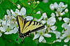 YellowSwallowtail-5-2016-sjs-003