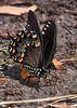 SpicebushSwallowtail-SunnyhillRestorationArea-4-30-20-SJS-02