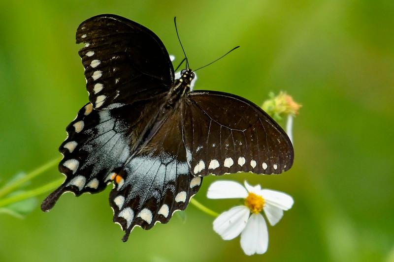 EasternBlackSwallowtail-PineMeadowsCA-9-13-19-SJS-001